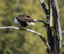 picture of fish-eagle  - A perched bald eagle eats a fish - JPG