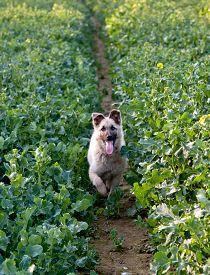 stock photo of shepherdess  - shepherdess dog running in rape flower field  - JPG