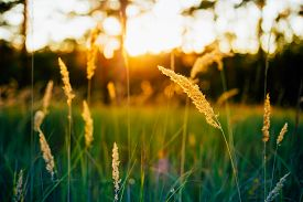 image of dry grass  - Dry Green Grass Field In Sunset Sunlight - JPG