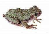 Eastern Gray Treefrog, Hyla Versicolor