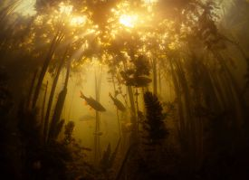 picture of fresh water fish  - School of fish in the fresh water pond with poor visibility - JPG