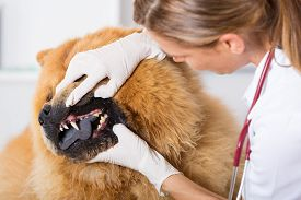 foto of chow-chow  - Veterinary performing a dental inspection to a Chow Chow in clinical - JPG