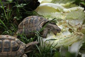 pic of russian tortoise  - Russian tortoise  - JPG