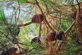picture of pine-needle  - Branches relict pines on the coast of Abkhazia with long needles of pine needles and cones against the blue sky - JPG