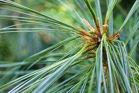 foto of pinus  - A close up of a Pinus needles - JPG