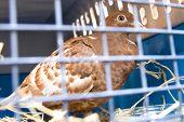 Caged Pigeon