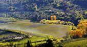 Vineyard in Tuscany in spring, Italy
