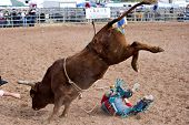 APACHE JUNCTION, AZ - FEBRUARY 27: A cowboy falls off a bucking bull in the bull riding competition