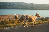 Group Of A Furry Sheeps In The Croatia - Island Pag Feeding And Running Next To The Road On Sunset.  poster