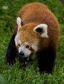 Firefox Walking