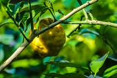 Bunch Of Ripe Lemon. Ripe Lemon Hanging On A Tree. Bunch Of Fresh Ripe Lemons On A Lemon Tree Branch poster
