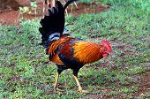 Wild Chicken On Kauai