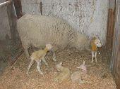 Mama Ewe with Quads