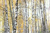 Beautiful Scene With Birches With Yellow Birch Leaves In October Among Other Birches In Birch Grove poster