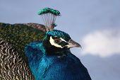 Peacock In Winter