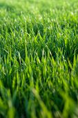 Green Young Wheat Grass Close Up Macro. Sunny Nature Grass Background For Your Design. Macro Image W poster