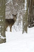 Whitetail Deer (Odocoileus virginiaus)