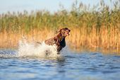 Funny Brown Dog Is Running And Jumping On The Water Splashing It Around On The Background With Yello poster