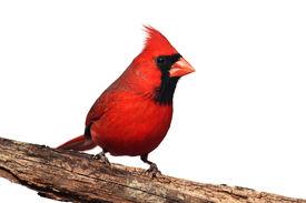 image of cardinal-bird  - Northern Cardinal  - JPG