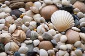 stock photo of driftwood  - Assortment of sea shells with large scallop - JPG