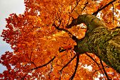 pic of maple tree  - Look at white sky through maple tree leafs - JPG