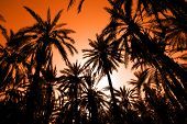 picture of oasis  - Sunset with palm date trees in the largest oasis of Tozeur in Tunisia - JPG