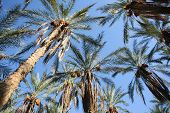 picture of tozeur  - Palm date trees in the largest oasis of Tozeur in Tunisia - JPG