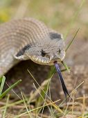 picture of harmless snakes  - Friendly Hognosed Snake with it - JPG