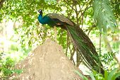 Peacock In Nature .