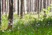 Spring Morning In Coniferous Forest