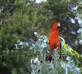 foto of king parrot  - Male australian king parrot foraging in acacia trees for wattle seeds - JPG
