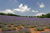 Lavender Fields Near Sault, Luberon, Provence, Southern France