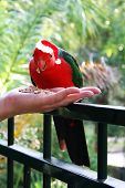 foto of king parrot  - King parrot wearing a christmas hat while feeding from a person - JPG