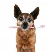 a chihuahua with a toothbrush in his mouth
