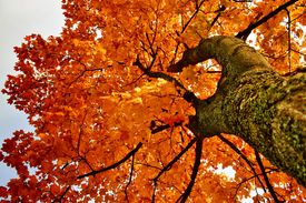 foto of maple tree  - Look at white sky through maple tree leafs - JPG