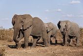 stock photo of veld  - Three Elephant bulls walking in Mopane Veld - JPG