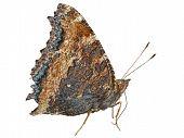 Butterfly (polygonia C-aureum)