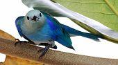 Close-up of a Blue-grey Tanager at Tobago