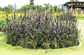 image of sorghum  - Big circle bush of Sorghum is the beautiful farm - JPG