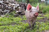 image of pig-breeding  - young pig walking on a farm a summer day - JPG