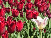 White Tulip Against Red Tulips