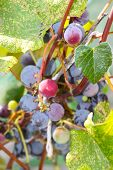 Purple grapes on a vine