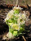Petasites Hybridus - Butterbur