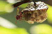 stock photo of hornets  - Red and Black Hornet building his nest  - JPG