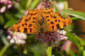 Comma Butterfly On Hebe Flower