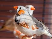 Cut-throat Finch Bird