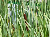 Typha Leaves And Spike On Stem