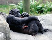 Mother Chimpanzee Feeding Her Baby