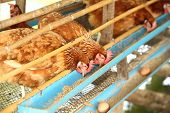 stock photo of avian flu  - hen or chicken and eggs eating food in farm - JPG