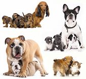 foto of puppies mother dog  - French bulldogs - JPG